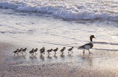 Ducks at beach — Stock Photo