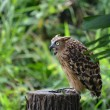 Malay fish owl — Stock Photo