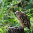 Stock Photo: Malay fish owl