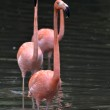 Pink flamingos in the lake — Stock Photo #34661357