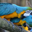 Macaws in Love — Stock Photo