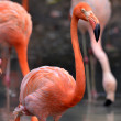 Caribbean Flamingoes — Stock Photo