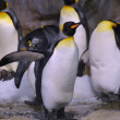King Penguin — Stock Photo #34661669