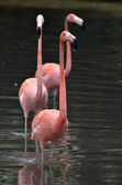 Pink flamingos in the lake — Stock Photo