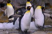 King Penguin — Стоковое фото
