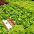 Hydroponic Lettuce in greenhouse — Stock Photo