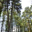 Stock Photo: Pine trees