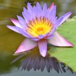 Water lily — Stock Photo #34719883