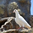 Photo: White pigeon