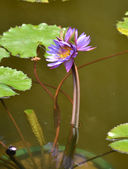 Water Lily Triplets — Stock Photo