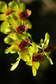 Yellow orchid — Foto de Stock