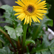Stock Photo: Yellow daisy