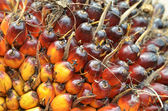 Oil Palm Fruits — Stock Photo