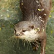 Otter — Stock Photo #35245973