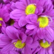 Stock Photo: Purple daisy