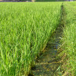 Foto de Stock  : Paddy field