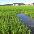 Paddy field — Stockfoto #35664693