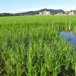 Paddy field — Stockfoto #35664719