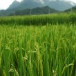 Paddy field — Stockfoto #35668971