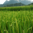 Paddy field — Foto de Stock