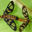 Mating tiger moths — Stock Photo