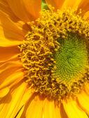 Sonnenblume — Stockfoto