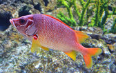 Red snapper fish swims in the deep sea — Stock Photo