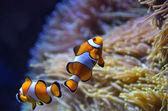 Cute orange white clown fish in the reef — Stock Photo