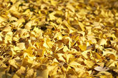 Yellow ginkgo biloba leaves — Stock Photo