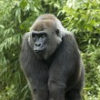 Gorilla — Stock Photo #13845357