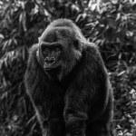 Gorilla Portrait in Black and White — Stock Photo #32196127