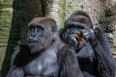 Gorillas — Stock Photo