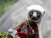 Sefaka Lemur — Stock Photo