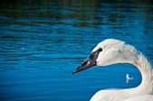 Mute Swan Porfile — Stock Photo