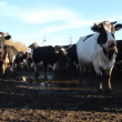 Cowshed. Cows on the Farm — Stock Video #13534363