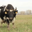 Cowshed. Cows on the Farm Russia — Stock Video
