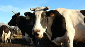 Cowshed. Cows on the Farm — Stock Photo