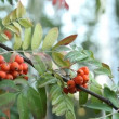 Rowanberry — Stock Video
