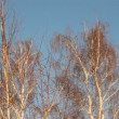 Birch forest. winter - Stock Photo