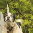 Watchdog rustic dog on a leash — Stock Video