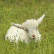 Small white goat grazing on a meadow — Stock Video