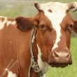 Brown cow with white spots on a summer pasture — Stock Photo