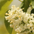 Blooming lilacs — Stock Video