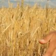 Close-up of woman's hand running through wheat field, dolly shot. — Stock Video