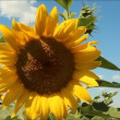 Sunflower in field — Stock Video