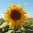 Stock Video: Sunflower in field