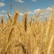 Wheat field against a blue sky — Stock Video