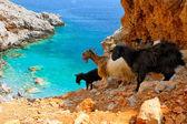 Mountain-goat — Stock Photo