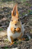 Squirrel — Zdjęcie stockowe