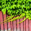 Stock Photo: Red wooden wall with vine